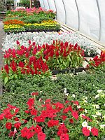 Flowers, hanging plants, potted plants, begonias, petunias, geraniums