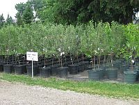 Fruit Trees, apple trees, cherry trees, peach trees, plum trees, pear trees